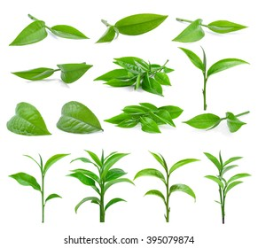 Green tea leaf isolated on white background, (dimensions 9800 X 8744 pixels)
