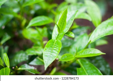 green tea leaf in tea plantation