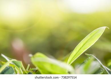 Green tea leaves in the tea garden in the morning.