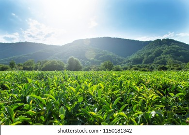 Green tea leaves grow in the mountains.