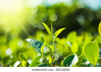 Green tea  leaves on tea plantations,Sri-Lanka