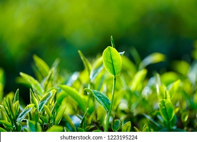 Green tea leaves in a tea plantation. Tea field in Bao Loc, Vietnam.