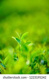 Green tea leaves in a tea plantation. Tea field in Bao Loc, Vietnam.