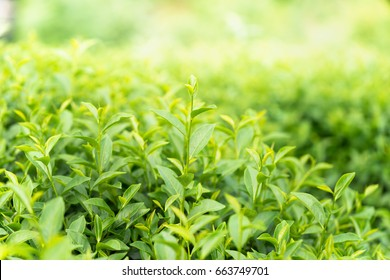 Green tea leaves in a tea plantation in morning