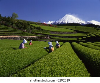 Green tea pickers in Springtime at the foot of Mt. Fuji