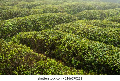 Green tea plant field in Lushan mountain in Jiangxi China famous for their Clouds and Mist tea