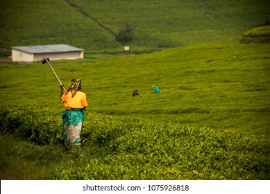 Green tea plantation in Gisovu province in Rwanda, Africa