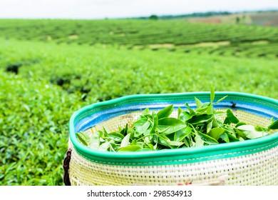 green tea plantation landscape, green tea in basket.