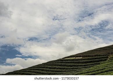 Green tea plantation landscape with blue sky