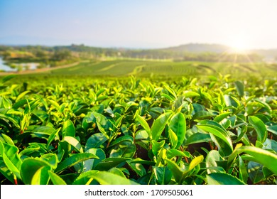 Green tea plantation landscape in the morning. organic agriculture in countryside.