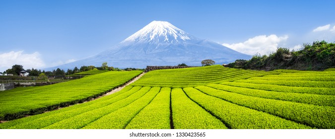 Green tea plantation near Mount Fuji, Shizuoka Prefecture, Japan