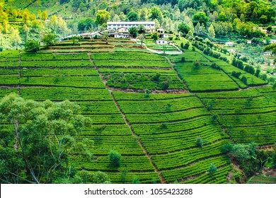 green tea plantation in Nuwara Eliya, Sri Lanka
