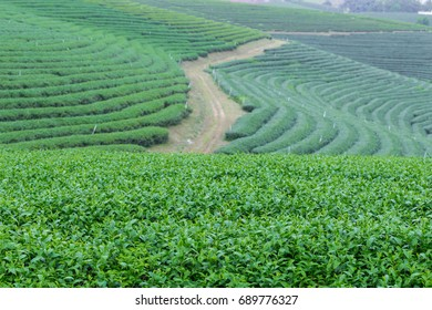 Green tea plantation on the mountain.