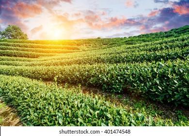 Green tea plantation in the spring season