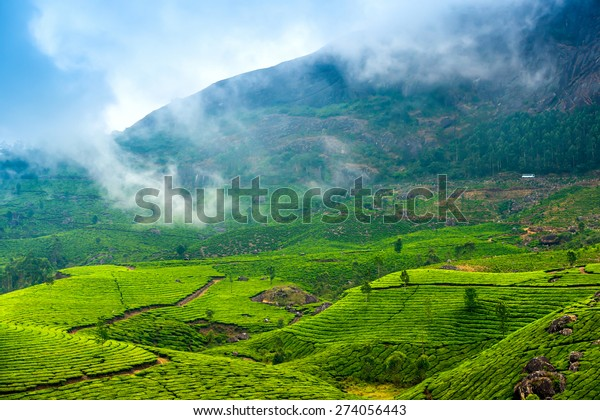 green tea plantations with fog early in the morning, Munnar, Kerala, beautiful India travel background