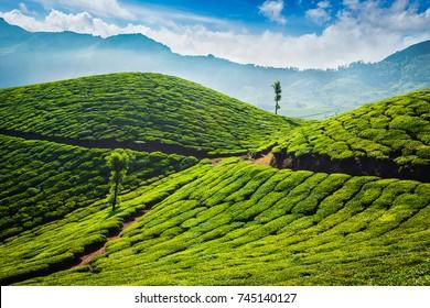 Green tea plantations in the morning. Munnar, Kerala state, India