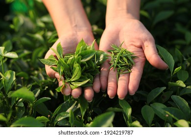(Green tea production process) Havesting fresh buds at green tea hill in Thai Nguyen
