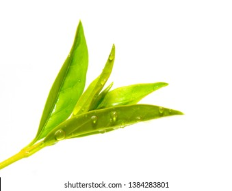 Green Tea Tree, Thea sinensis. Lush leaf. Healthy Food ingredient and healthy drink. Herb isolated on white background.