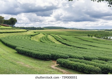 Green tea trees growing in orchard on cloud sky background landscape view in northern of Thailand