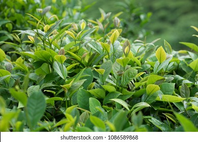 green tea trees in spring