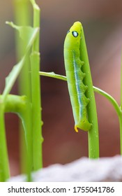 Green tea worm  are eating leaves in the garden background.