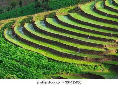 green terraced rice field at Chiangmai Thailand