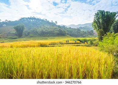 Green Terraced Rice Field with farmer, Rice pants and Rice paddy in the early morning.