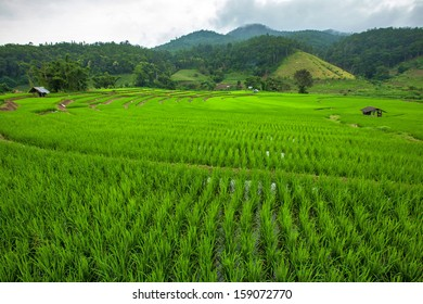 Green terraced riced field in the morning