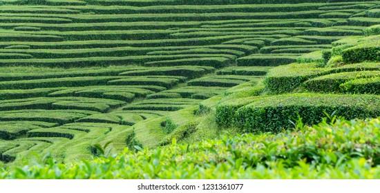 Green terraces of the Azores tea plantation Gorreana near Ponta Delgada, Sao Miguel island, Azores, Portugal