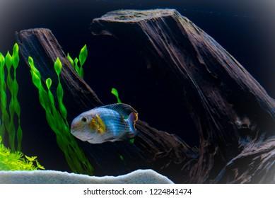 Green terror fish in aquarium