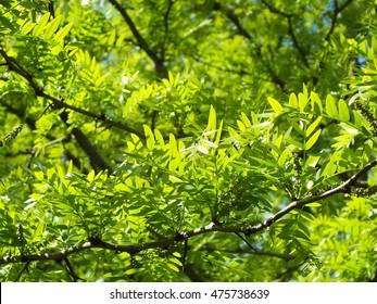 green texture of honey locust leaves