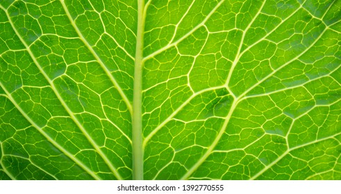 green texture of leaf vein with light from back for agricultural background