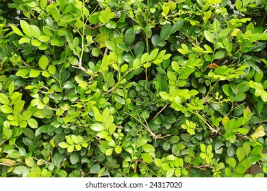 Green texture made by foliage leaf.