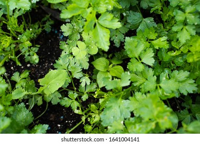 Green texture of parsley from topview