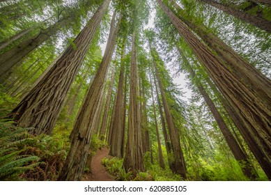 Green thickets in the forest of old-growth sequoias. Beautiful ferns grow between huge trees. Redwood national and state parks. California, USA