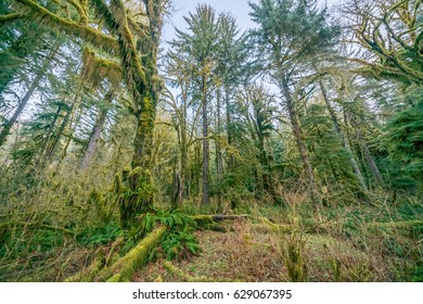 Green thickets in the forest of old-growth trees. Beautiful ferns grow between huge trees in temperate rain forests. Hoh Rain Forest, Olympic National Park, Washington state, USA