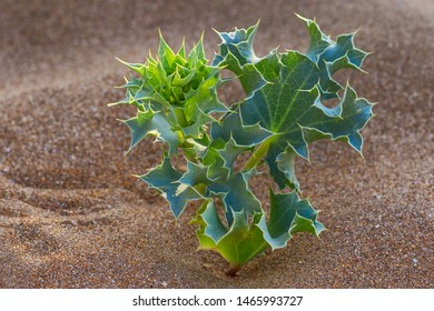 green thorn Bush on the sand.