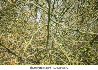 green thorn bush with spikes dangerous thorns close jag and scrub net green background texture