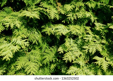 Green thuja branches. Thuja natural background. Wallpaper. Texture.