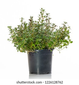 Green thyme in a pot white isolated