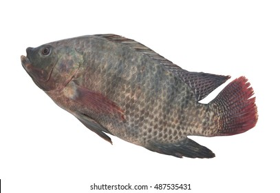 Green tilapia isolated on white background