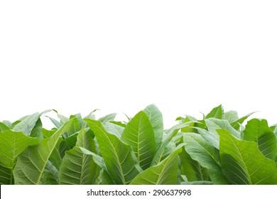 Green tobacco field, Tobacco plantation ; on  white background.