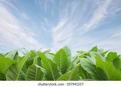 Green tobacco field, Tobacco plantation ; on  blue sky background.