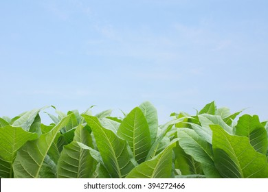 Green tobacco field, Tobacco plantation with plain blue sky background.Retouch by add blue sky background,Agricultural concept.Conceptual and idea picture.