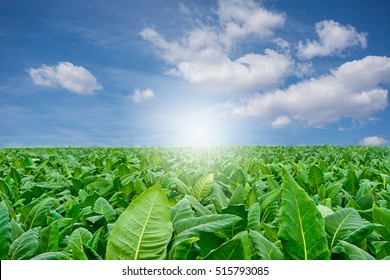 Green tobacco field with sky background.Agricultural concept,Agricutral industry concept.