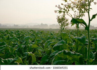 green tobacco plants on a field