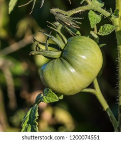 green tomato in the garden