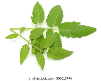 Green tomato leaf isolated on white background
