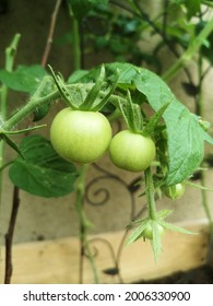 green tomatoe fruits and blossoms, neutral light