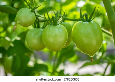 Green tomatoes. Agriculture concept.